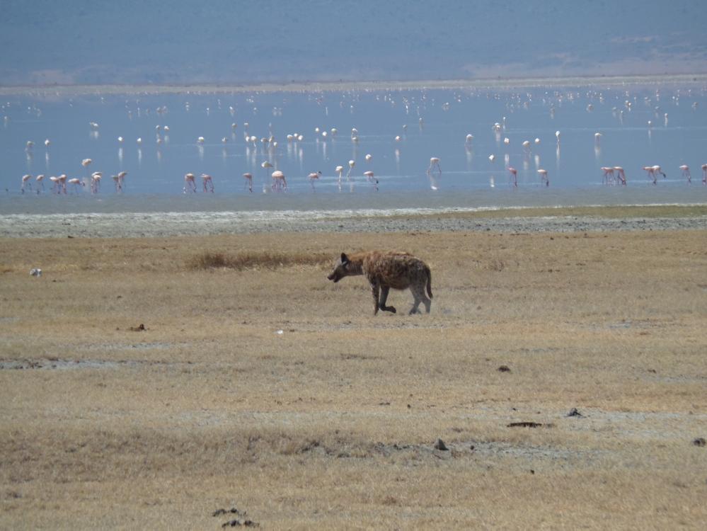 Hyena in Tanaznia